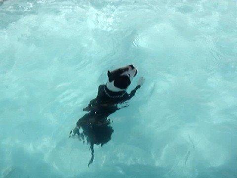pitbull dog swim underwater to get his kong!