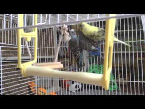 How to raise a healthy and happy budgie