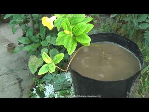 How to Care Allamanda Plant | Yellow Flowering Plants | Summer Flowering Plants