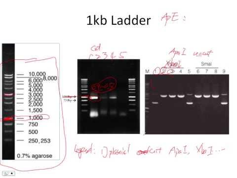 Agarose DNA gel and standard curve plot in R
