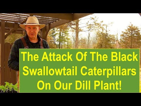 The Attack of the Black Swallowtail Caterpillars on our Dill Plant!