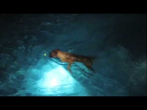Brock the Boxer: Nighttime Swimming!  SPOTLIGHTED!