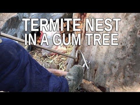 TREATING A TERMITE-INFESTED GUM TREE | BOB GUNN