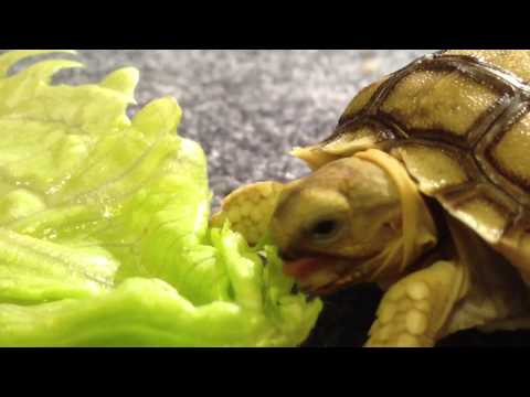 Iggy the baby tortoise eats lettuce.