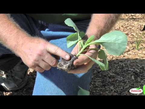Garden Tutorial: Planting Cold Crops (Cabbage, Kale, Brussels Sprouts, Cauliflower)