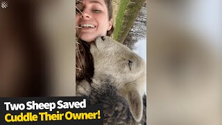 Two adorable sheep saved from slaughter LOVE to cuddle their guardian | Sheep Rescued