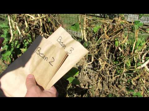 How to Save Bean Seeds for Planting and Dry Food - The Rusted Garden 2013
