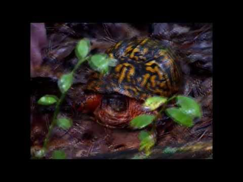 Finding & Feeding Wild Box Turtle