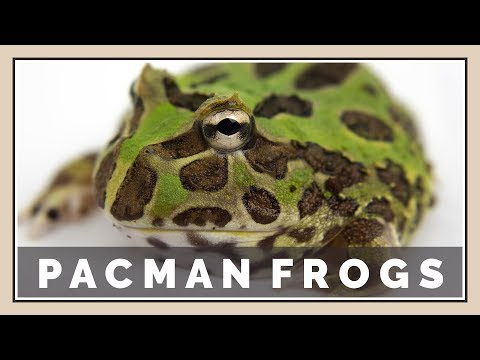 Do Pacman Frogs Make Good Pets? - My First Impressions