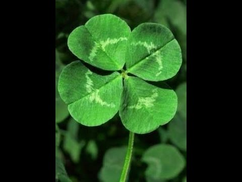 Finding four  FOUR LEAF CLOVERS within minutes!