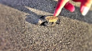 Saving a baby Sea Turtle