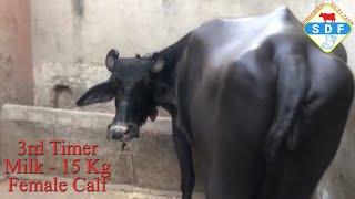 buffalo calf for sale Videos - 9tube tv