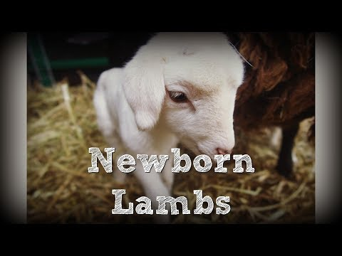 The First of Our Lambs are Born