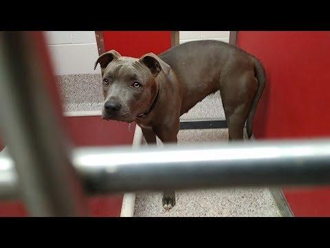 Pima Animal Care Center 5-31-18 Doggie Adoptable in 1 week - Rita 8 Month Old Female Animal# A636044
