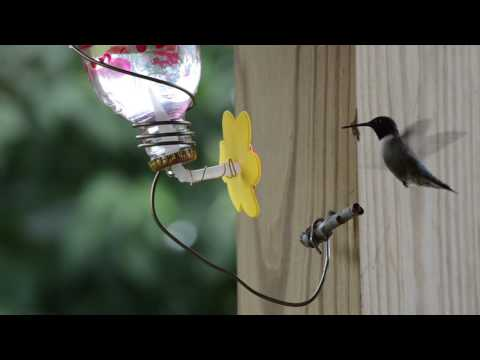 Hummingbird Feeding At Homemade Feeder