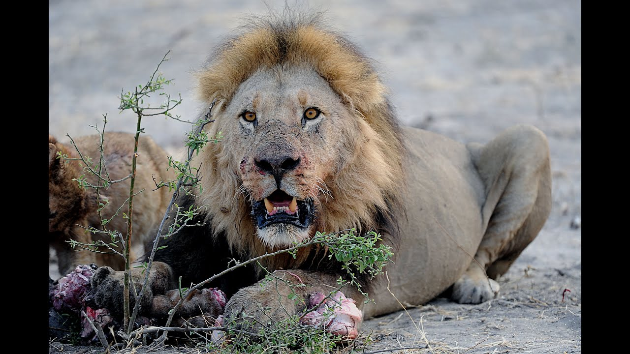 LIONS VS HYENAS - Clash of Enemies