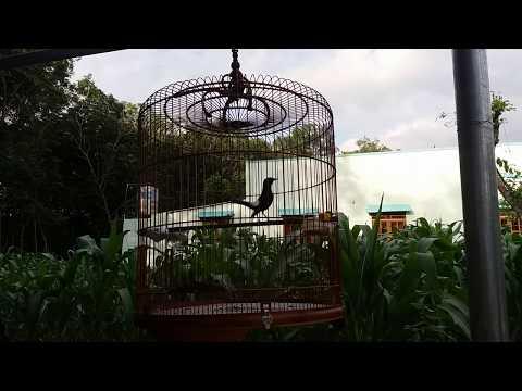 Chim chòe lửa hót nhiều giọng | white-rumped shama bird