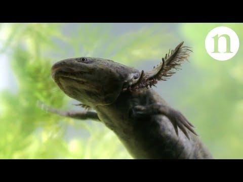 Axolotls: A conservation paradox