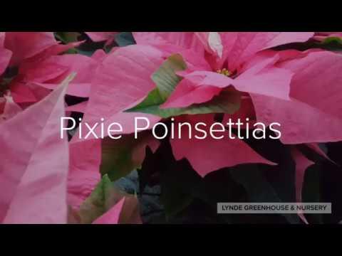 Pixie Poinsettias