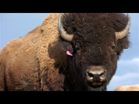 Help Wanted: Bison Ranchers