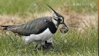 टिटहरी पक्षी क्या सच में अपना अण्डा पारस पत्थर से फोडंती हैं जाने झूठ हैं या सच, (tithari pakshi)