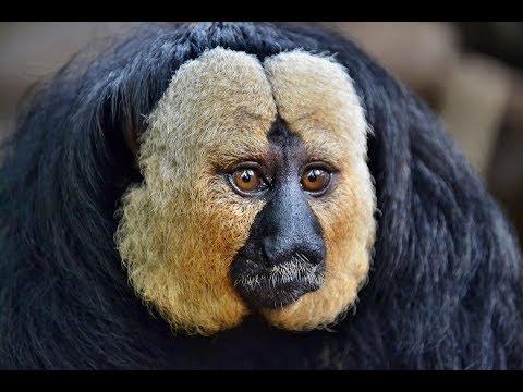 13 White-Faced Saki Monkey Facts