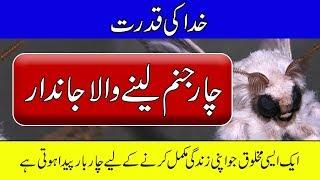 Butterfly Life Cycle in Urdu - Purisrar Dunya - Urdu Documentary