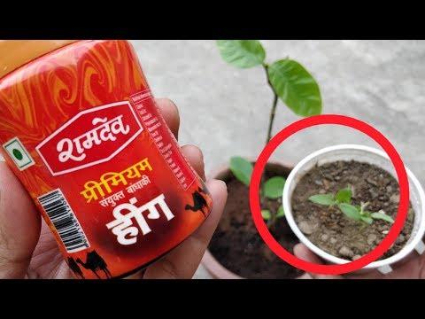 घर में आसानी से उगाएं हींग का पौधा