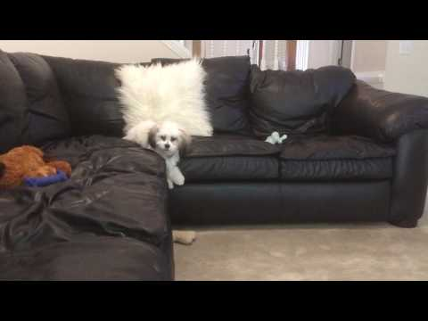 Zoey whines for bone when she can get off couch alone