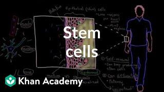 Stem cells | Cells | MCAT | Khan Academy