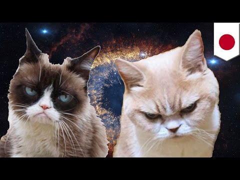Koyuki cat is the newest angry feline Internet sensation that could rival Grumpy Cat - TomoNews