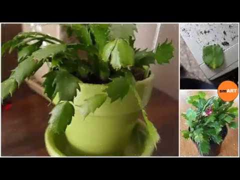Christmas Cactus Cuttings - Christmas Cactus Bloom