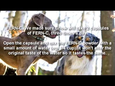Home treatment to Dog rectal bleeding after eating a chicken bone. [FERN-C vitamin]