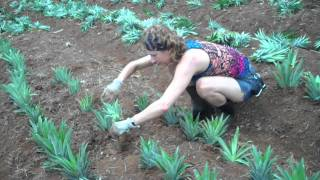 Dove nascono gli ananas fratelli orsero music jinni - Comment planter un ananas ...