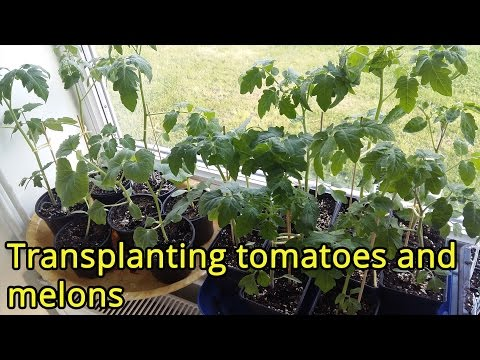 Transplanting tomatoes and melons