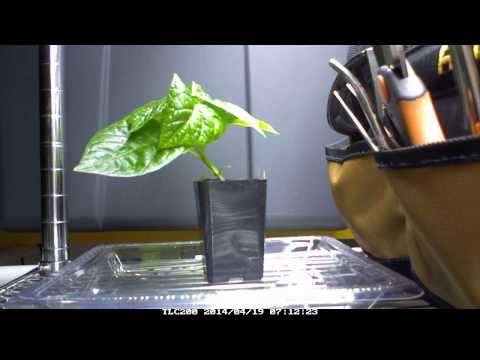 Pepper Recovering from Underwatering (Timelapse) 4/19/14