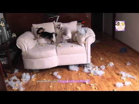 OMG My rescued dogs fighting and chewing up the couch! Dogs Funny Videos