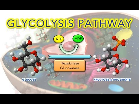 Steps of Glycolysis Reactions Explained - Animation - SUPER EASY
