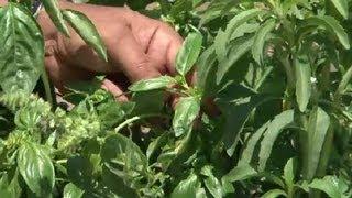 Trimming Basil Herb Gardening