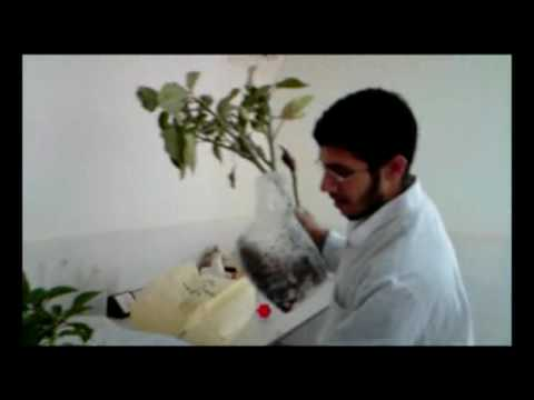 Different Datura Species By Momer IonsClub.Com Team in SIUST University