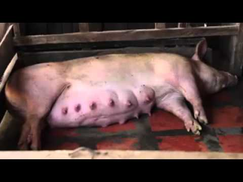 Vanny how to make pig food
