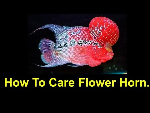 How To Care Your Flowerhorn Fish in Hindi/Urdu
