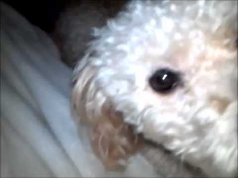 Bichon Poodle and Bichon Frise Dogs Clean Each Other