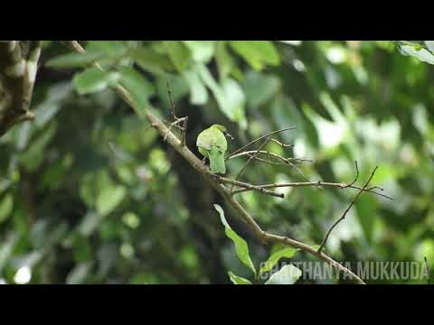 Golden fronted Leafbird - LEAFBIRD