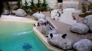 Toronto Zoo Penguins - jumping into water