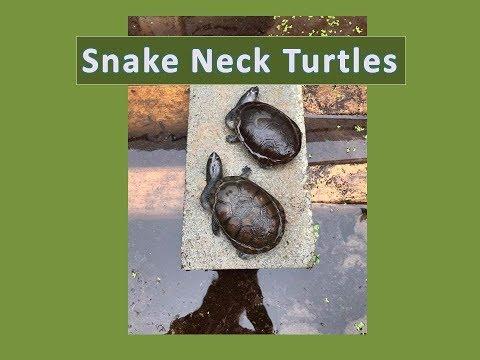 Feeding snake-neck turtles some tasty fish
