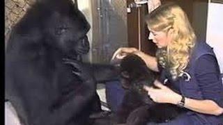 Mulher Conversa Com Gorila Através De Sinais - Inacreditável