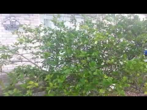 Lemon Trees and the Importance of Pruning