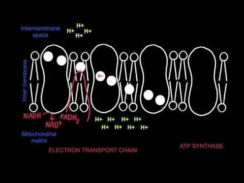 8.2 Electron Transport Chain and Chemiosmosis