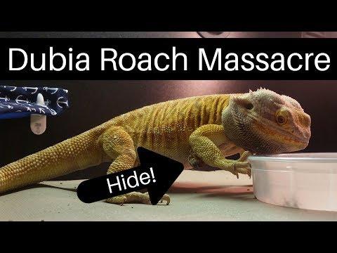 Bearded Dragon (Blaze) Slaughtering Dubia Roaches. [4K].